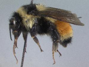 (Bombus ternarius - Bee 158)  @15 [ ] CreativeCommons - Attribution Non-Commercial Share-Alike (2010) Cory S. Sheffield York University