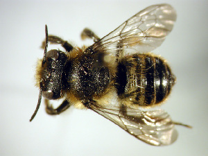 (Megachile centuncularis - Bee31)  @15 [ ] Copyright (2010) Unspecified Unspecified