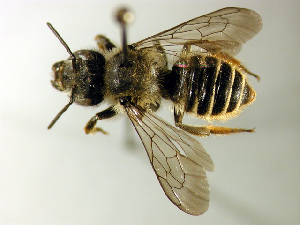 (Megachile relativa - Bee38)  @16 [ ] Copyright (2010) Unspecified Unspecified