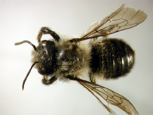 (Megachile gemula - Bee225)  @15 [ ] Copyright (2010) Unspecified Unspecified