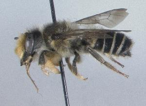 (Megachile pugnata - Bee13)  @15 [ ] CreativeCommons - Attribution Non-Commercial Share-Alike (2010) Unspecified York University