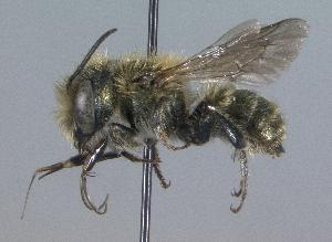(Osmia caerulescens - Bee63)  @15 [ ] CreativeCommons - Attribution Non-Commercial Share-Alike (2010) Cory S. Sheffield York University