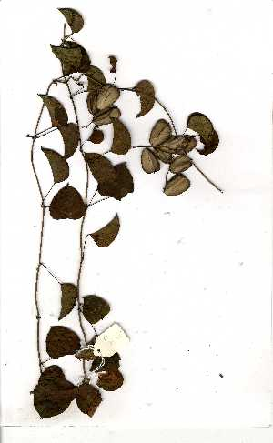 (Dioscorea cotinifolia - OM1458)  @11 [ ] No Rights Reserved  Unspecified Unspecified