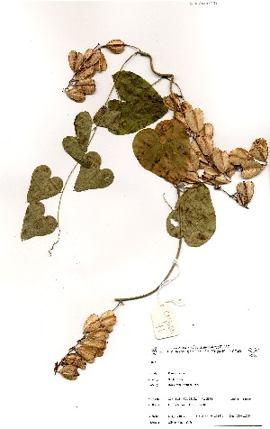 (Dioscorea sylvatica - OM_MvdB71)  @11 [ ] No Rights Reserved  Unspecified Unspecified