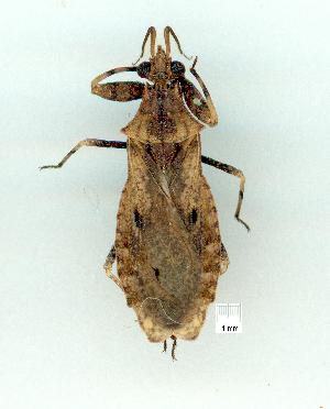 (Dulitocoris - gvc10654-1L)  @14 [ ] Copyright (2004) Unspecified Unspecified