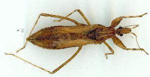 (Stenopodainae - gvc10659-1L)  @14 [ ] Copyright (2004) Graeme V. Cocks Unspecified