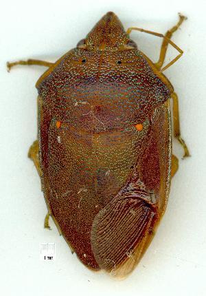 (Scutelleridae - gvc10680-1L)  @15 [ ] Copyright (2004) Graeme V. Cocks Unspecified