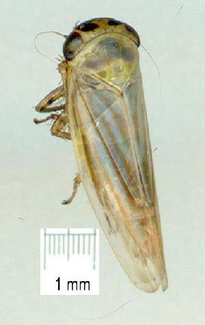(CicadellidGC - gvc13871-1L)  @14 [ ] Copyright (2004) Unspecified Unspecified
