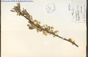 (Prunus pumila - 17469HIM)  @11 [ ] CreativeCommons - Attribution Non-Commercial Share-Alike (2012) University of Guelph, Canada OAC-BIO Herbarium
