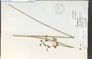(Juncus militaris - 18650HIM)  @11 [ ] by-nc-sa - Creative Commons - Attribution Non-Comm Share-Alike (2012) University of Guelph, Canada OAC-BIO Herbarium