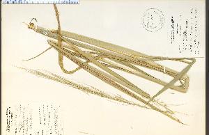 (Zizania aquatica var. angustifolia - 20495HIM)  @11 [ ] CreativeCommons - Attribution Non-Commercial Share-Alike (2012) University of Guelph, Canada OAC-BIO Herbarium