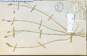 (Polygala incarnata - 25209HIM)  @11 [ ] CreativeCommons - Attribution Non-Commercial Share-Alike (2012) University of Guelph, Canada OAC-BIO Herbarium