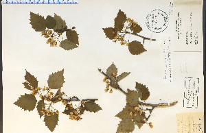 (Crataegus macrosperma - 26373HIM)  @11 [ ] CreativeCommons - Attribution Non-Commercial Share-Alike (2012) University of Guelph, Canada OAC-BIO Herbarium