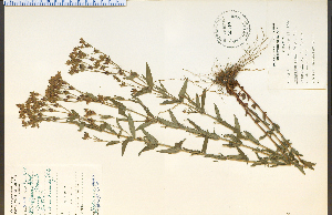 (Hypericum majus - 26637HIM)  @11 [ ] CreativeCommons - Attribution Non-Commercial Share-Alike (2012) University of Guelph, Canada OAC-BIO Herbarium