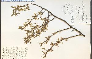 (Prunus pumila - 27920HIM)  @11 [ ] CreativeCommons - Attribution Non-Commercial Share-Alike (2012) University of Guelph, Canada OAC-BIO Herbarium
