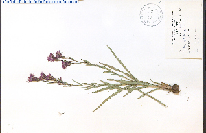 (Liatris cylindracea - 33014HIM)  @11 [ ] by-nc-sa - Creative Commons - Attribution Non-Comm Share-Alike (2012) University of Guelph, Canada OAC-BIO Herbarium