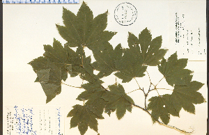 (Acer circinatum - 33232HIM)  @13 [ ] CreativeCommons - Attribution Non-Commercial Share-Alike (2012) University of Guelph, Canada OAC-BIO Herbarium