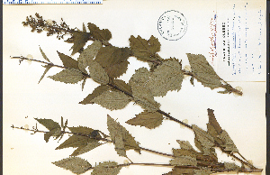 (Scrophularia lanceolata - 35036HIM)  @11 [ ] CreativeCommons - Attribution Non-Commercial Share-Alike (2012) University of Guelph, Canada OAC-BIO Herbarium