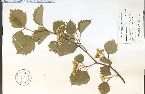 (Crataegus brainerdii - 38892HIM)  @11 [ ] CreativeCommons - Attribution Non-Commercial Share-Alike (2012) University of Guelph, Canada OAC-BIO Herbarium