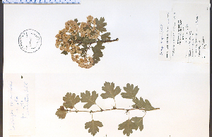 (Crataegus laevigata - 39181HIM)  @11 [ ] CreativeCommons - Attribution Non-Commercial Share-Alike (2012) University of Guelph, Canada OAC-BIO Herbarium