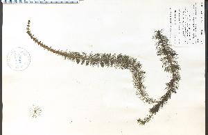 (Myriophyllum heterophyllum - 44987HIM)  @11 [ ] CreativeCommons - Attribution Non-Commercial Share-Alike (2012) University of Guelph, Canada OAC-BIO Herbarium