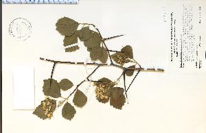 (Crataegus succulenta - 45175HIM)  @11 [ ] CreativeCommons - Attribution Non-Commercial Share-Alike (2012) University of Guelph, Canada OAC-BIO Herbarium