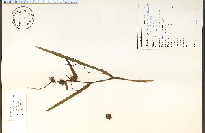 (Sparganium androcladum - 47838HIM)  @11 [ ] CreativeCommons - Attribution Non-Commercial Share-Alike (2012) University of Guelph, Canada OAC-BIO Herbarium