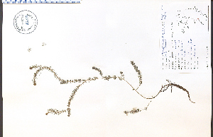 (Myriophyllum alterniflorum - 48703HIM)  @11 [ ] CreativeCommons - Attribution Non-Commercial Share-Alike (2012) University of Guelph, Canada OAC-BIO Herbarium