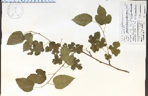 (Morus - 53893HIM)  @11 [ ] CreativeCommons - Attribution Non-Commercial Share-Alike (2012) University of Guelph, Canada OAC-BIO Herbarium