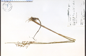 (Juncus militaris - 56944HIM)  @11 [ ] by-nc-sa - Creative Commons - Attribution Non-Comm Share-Alike (2012) University of Guelph, Canada OAC-BIO Herbarium