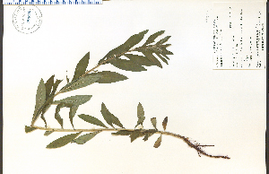 (Lithospermum latifolium - 57604HIM)  @11 [ ] CreativeCommons - Attribution Non-Commercial Share-Alike (2012) University of Guelph, Canada OAC-BIO Herbarium