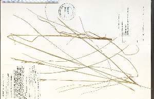 (Bromus erectus - 58030HIM)  @11 [ ] by-nc-sa - Creative Commons - Attribution Non-Comm Share-Alike (2012) University of Guelph, Canada OAC-BIO Herbarium