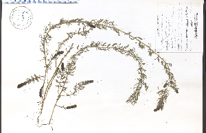 (Myriophyllum ussuriense - 58909HIM)  @11 [ ] CreativeCommons - Attribution Non-Commercial Share-Alike (2012) University of Guelph, Canada OAC-BIO Herbarium