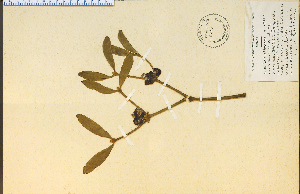 (Viscum - 6404HIM)  @13 [ ] CreativeCommons - Attribution Non-Commercial Share-Alike (2012) University of Guelph, Canada OAC-BIO Herbarium