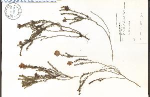 (Erica tetralix - 62133HIM)  @11 [ ] CreativeCommons - Attribution Non-Commercial Share-Alike (2012) University of Guelph, Canada OAC-BIO Herbarium