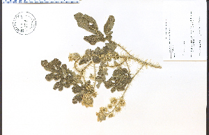 (Solanum rostratum - 63728HIM)  @11 [ ] CreativeCommons - Attribution Non-Commercial Share-Alike (2012) University of Guelph, Canada OAC-BIO Herbarium
