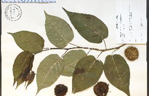 (Maclura - 65103HIM)  @11 [ ] CreativeCommons - Attribution Non-Commercial Share-Alike (2012) University of Guelph, Canada OAC-BIO Herbarium