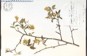 (Amelanchier arborea - 66890HIM)  @11 [ ] CreativeCommons - Attribution Non-Commercial Share-Alike (2012) University of Guelph, Canada OAC-BIO Herbarium