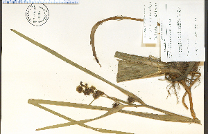 (Sparganium eurycarpum - 70346HIM)  @11 [ ] CreativeCommons - Attribution Non-Commercial Share-Alike (2012) University of Guelph, Canada OAC-BIO Herbarium