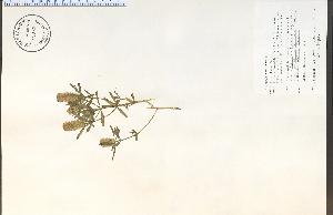 (Polygala cruciata - 72072HIM)  @11 [ ] CreativeCommons - Attribution Non-Commercial Share-Alike (2012) University of Guelph, Canada OAC-BIO Herbarium