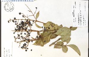(Ligustrum ovalifolium - 72935HIM)  @11 [ ] CreativeCommons - Attribution Non-Commercial Share-Alike (2012) University of Guelph, Canada OAC-BIO Herbarium