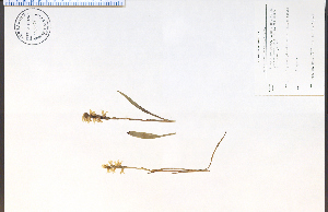 (Spiranthes cernua - 74006HIM)  @11 [ ] CreativeCommons - Attribution Non-Commercial Share-Alike (2012) University of Guelph, Canada OAC-BIO Herbarium