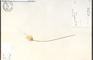 (Eriophorum gracile - 79249HIM)  @11 [ ] CreativeCommons - Attribution Non-Commercial Share-Alike (2012) University of Guelph, Canada OAC-BIO Herbarium