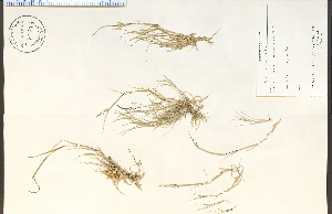(Sporobolus neglectus - 79784HIM)  @11 [ ] by-nc-sa - Creative Commons - Attribution Non-Comm Share-Alike (2012) University of Guelph, Canada OAC-BIO Herbarium
