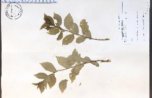 (Prunus americana - 81164HIM)  @11 [ ] CreativeCommons - Attribution Non-Commercial Share-Alike (2012) University of Guelph, Canada OAC-BIO Herbarium