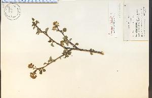 (Prunus mahaleb - 9705HIM)  @11 [ ] CreativeCommons - Attribution Non-Commercial Share-Alike (2012) University of Guelph, Canada OAC-BIO Herbarium