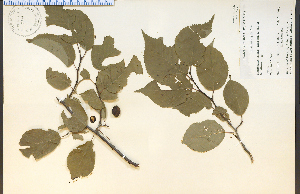 (Prunus nigra - 9714HIM)  @11 [ ] CreativeCommons - Attribution Non-Commercial Share-Alike (2012) University of Guelph, Canada OAC-BIO Herbarium