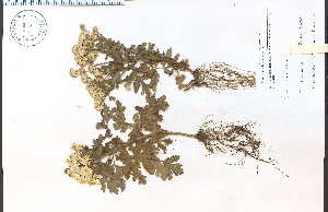 (Tanacetum - 83186HIM)  @11 [ ] by-nc-sa - Creative Commons - Attribution Non-Comm Share-Alike (2012) University of Guelph, Canada OAC-BIO Herbarium
