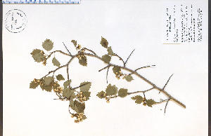 (Crataegus pruinosa - 85512HIM)  @11 [ ] CreativeCommons - Attribution Non-Commercial Share-Alike (2012) University of Guelph, Canada OAC-BIO Herbarium