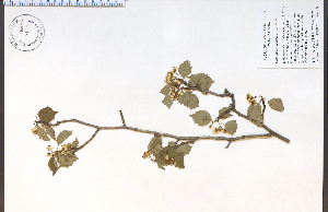 (Crataegus macrosperma - 85515HIM)  @11 [ ] CreativeCommons - Attribution Non-Commercial Share-Alike (2012) University of Guelph, Canada OAC-BIO Herbarium